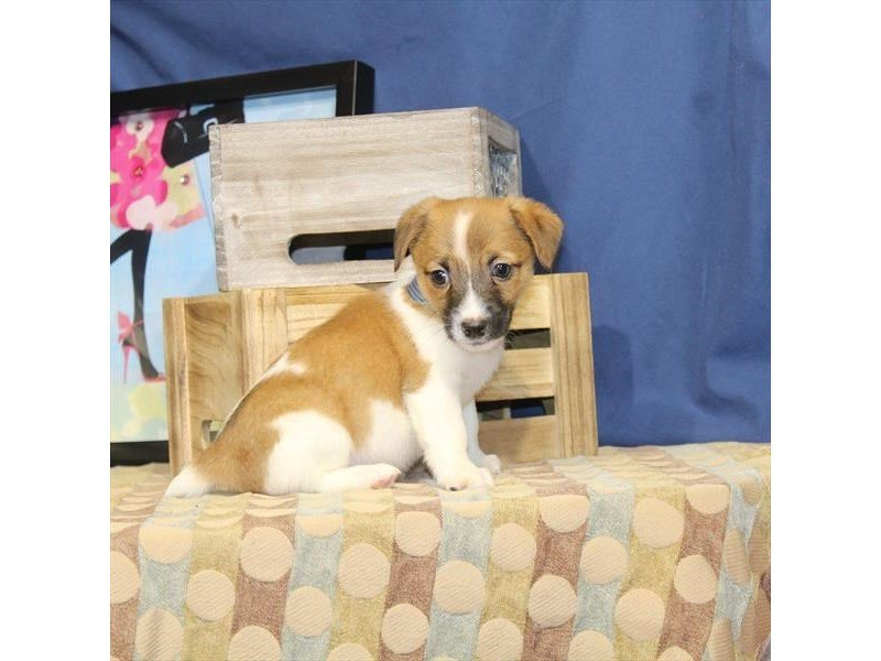 Jack Russell Terrier-Male-Red / White-2326473-Petland Naperville