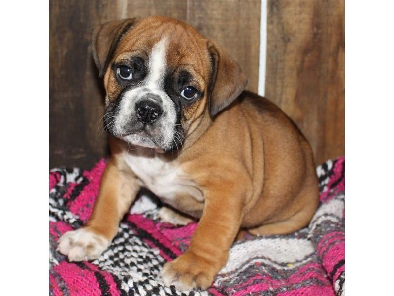 Beabull-DOG-Male-Red-2326495-Petland Naperville