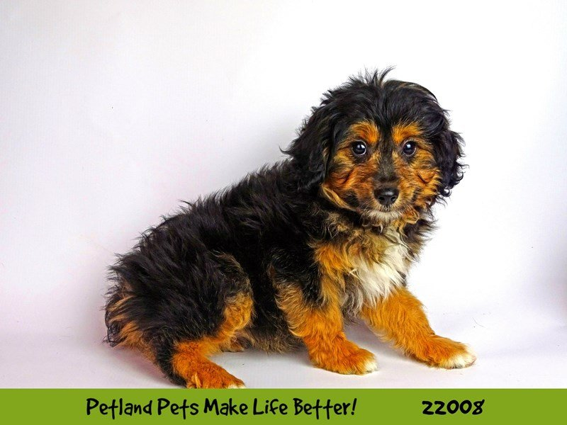 Aussiepoo-DOG-Female-Blk/Tan-2326347-Petland Naperville