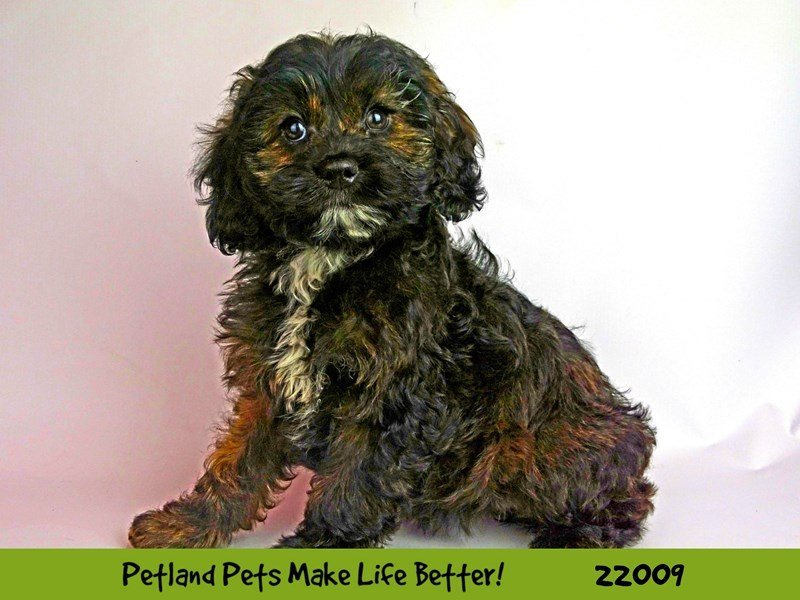 Cockapoo-DOG-Female-Blk-2326369-Petland Naperville
