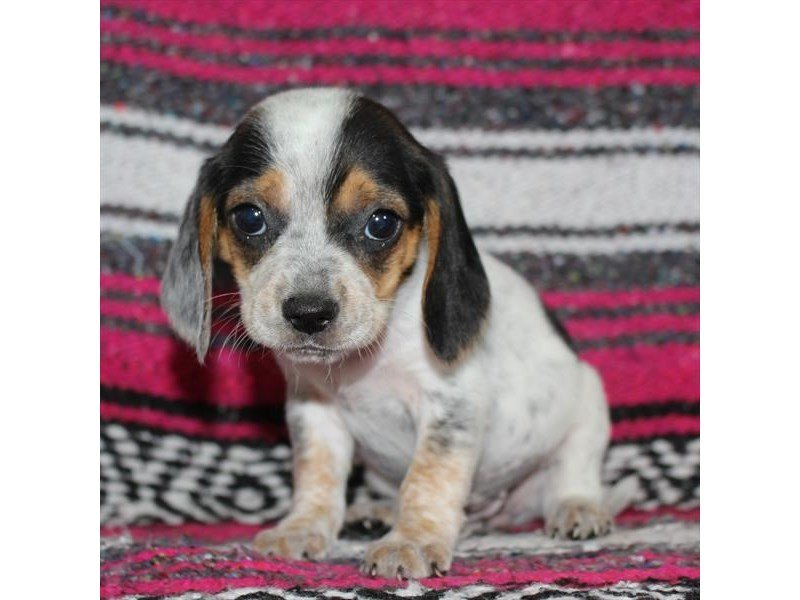 Beagle-Female-White Black / Tan-2331212-Petland Naperville