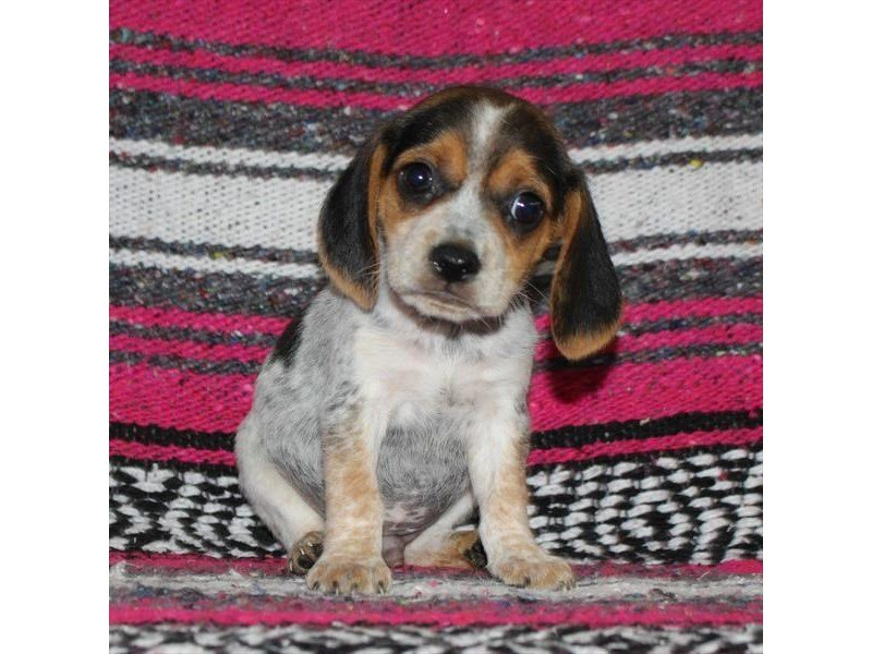 Beagle-Male-White Black / Tan-2331214-Petland Naperville