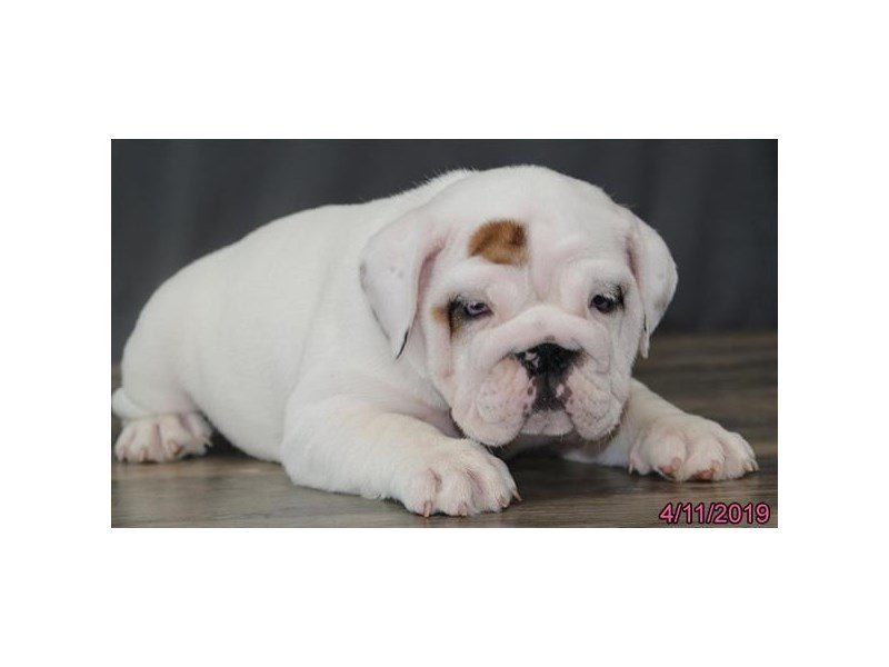 English Bulldog-Female-White-2331215-Petland Naperville