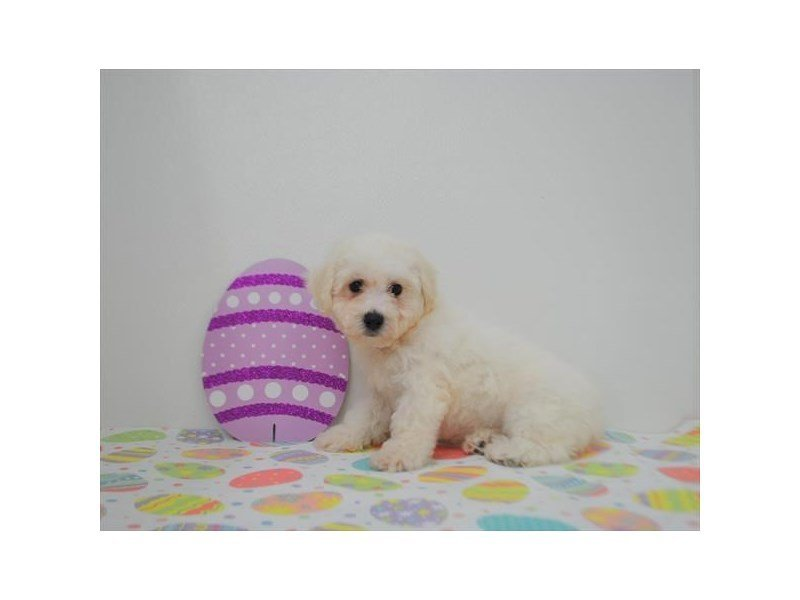 Cavachon-DOG-Female-White-2331245-Petland Naperville