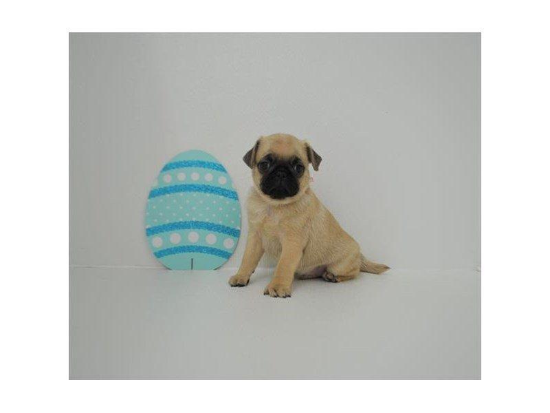 Pug-Male-Fawn-2331247-Petland Naperville