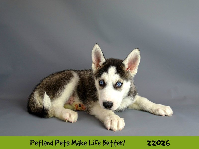 Siberian Husky-Male-Blk/Wht-2331199-Petland Naperville