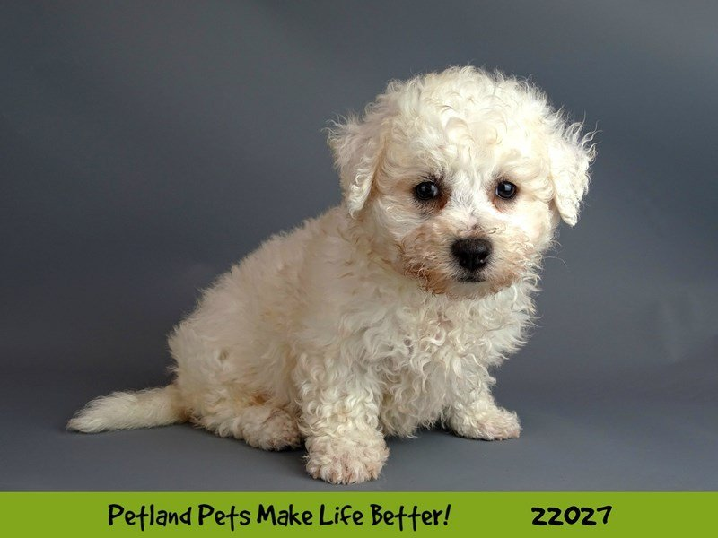 Bichon Frise-DOG-Female-White-2331306-Petland Naperville