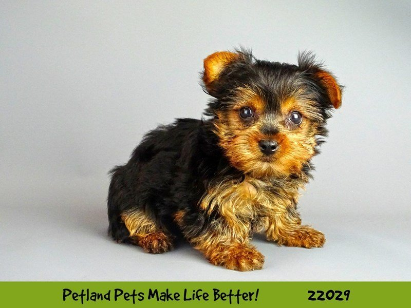 Yorkshire Terrier-DOG-Female-Blk/Tan-2331352-Petland Naperville