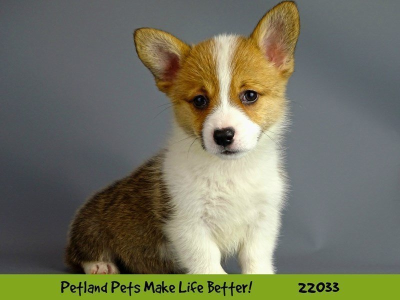 Pembroke Welsh Corgi-DOG-Female-Sable/White-2331516-Petland Naperville