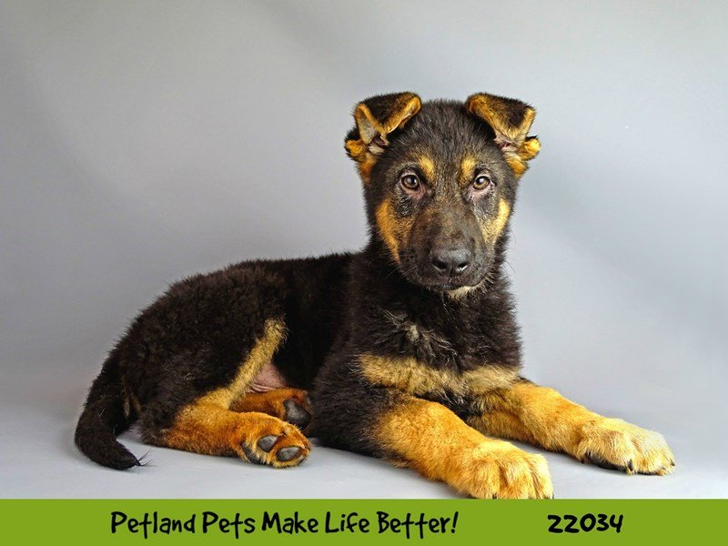 German Shepherd-DOG-Male-Blk/Tan-2331537-Petland Naperville