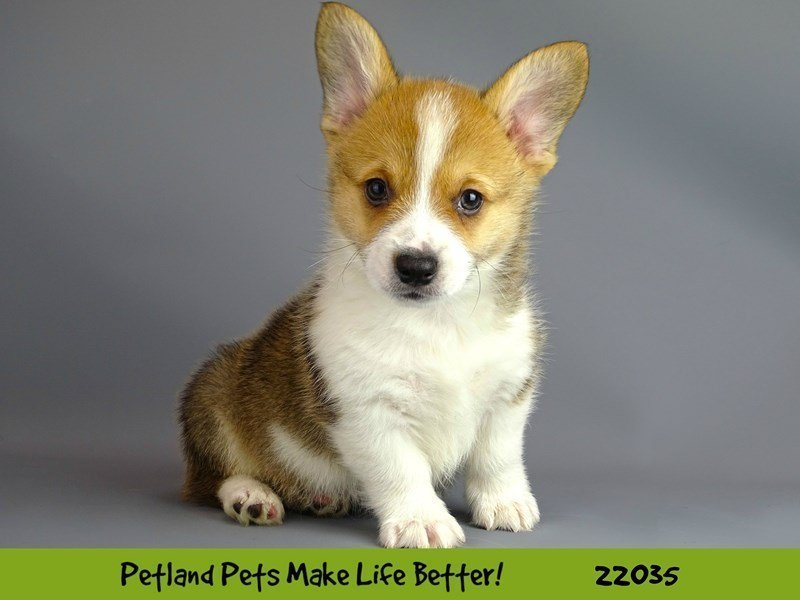 Pembroke Welsh Corgi-DOG-Male-Sable/Wht-2331548-Petland Naperville