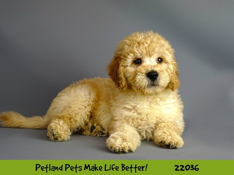 F1 Mini Golden Doodle-Male-Cream-2331647-Petland Naperville