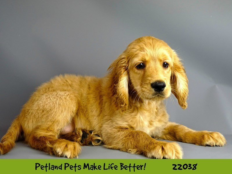 Comfort Golden-Male-Golden-2331697-Petland Naperville
