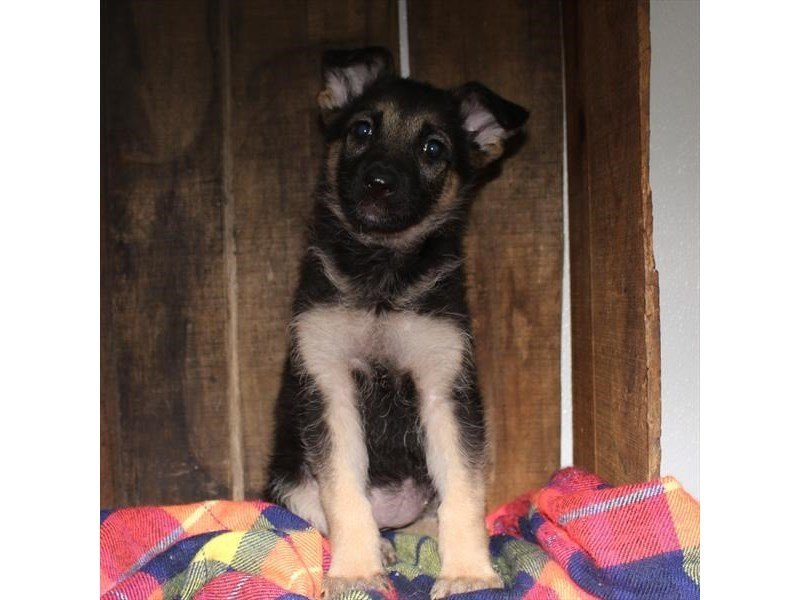 German Shepherd Dog-Female-Black / Tan-2336977-Petland Naperville