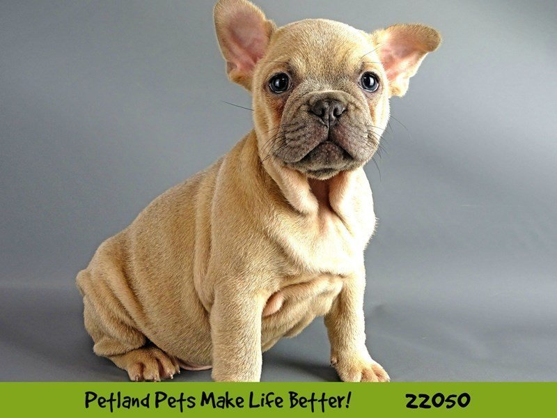 French Bulldog-DOG-Male-Blue Fawn-2336495-Petland Naperville