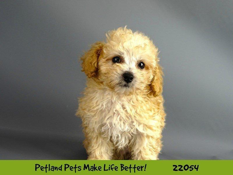 Poodle-DOG-Male-Apricot-2336689-Petland Naperville