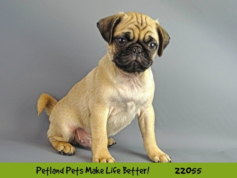 Pug-DOG-Male-Fawn-2336701-Petland Naperville