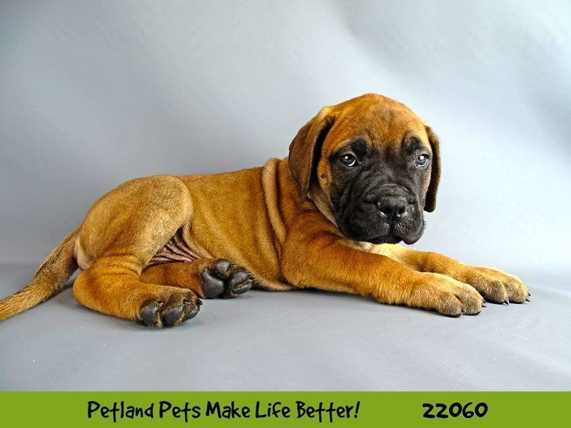 Bullmastiff-Male-Red Fawn-2336980-Petland Naperville