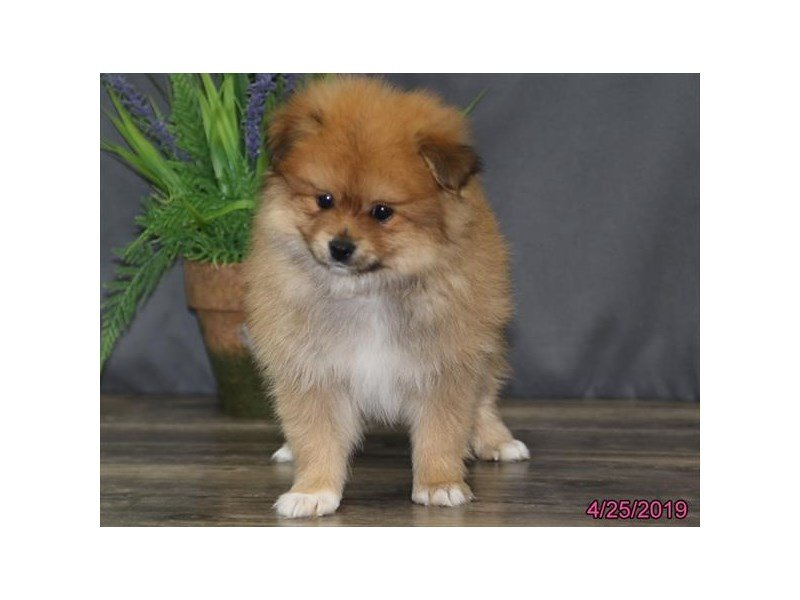 Pomeranian-DOG-Male-Red-2342081-Petland Naperville