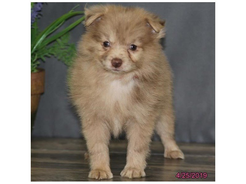 Pomeranian-Female-Chocolate-2342084-Petland Naperville
