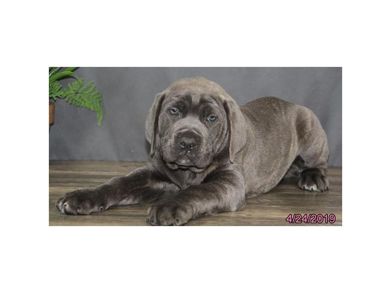 Cane Corso-DOG-Male-Blue Brindle-2342087-Petland Naperville
