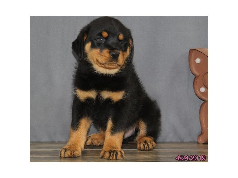 Rottweiler-DOG-Male-Black / Rust-2342088-Petland Naperville