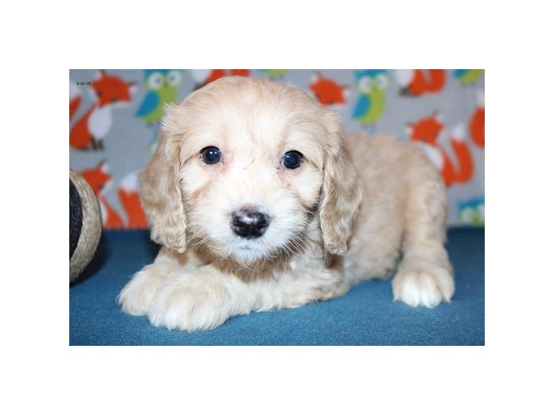 Goldendoodle Mini 2nd Gen-DOG-Female-Cream-2342089-Petland Naperville
