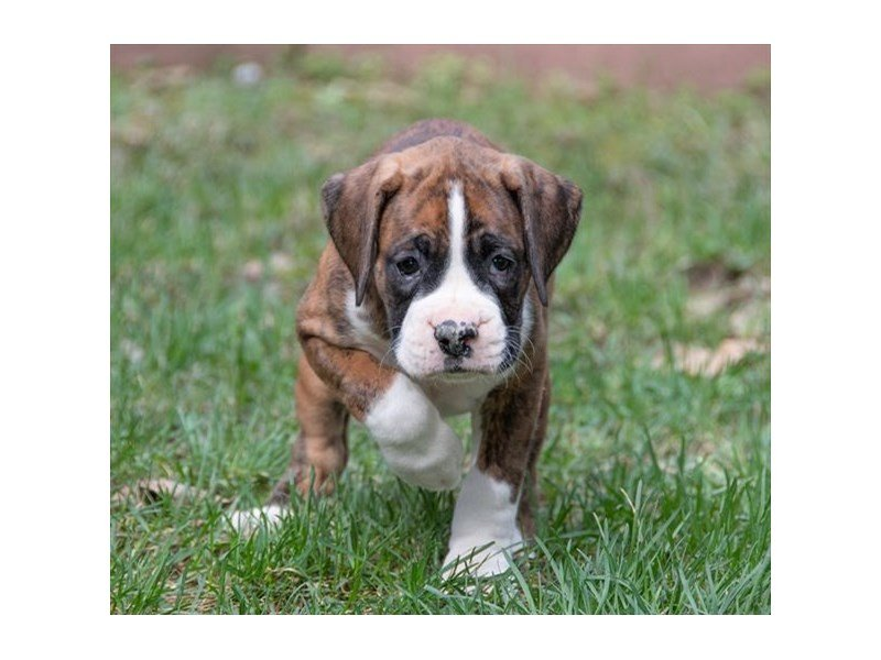 Boxer-DOG-Female-Brindle-2342091-Petland Naperville