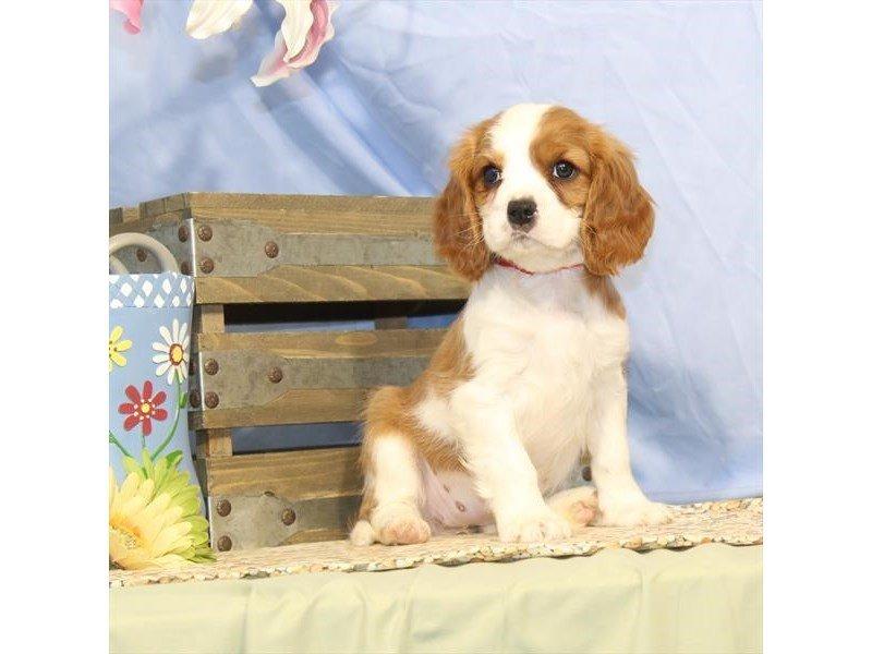 Cavalier King Charles Spaniel-DOG-Female-Blenheim-2342112-Petland Naperville