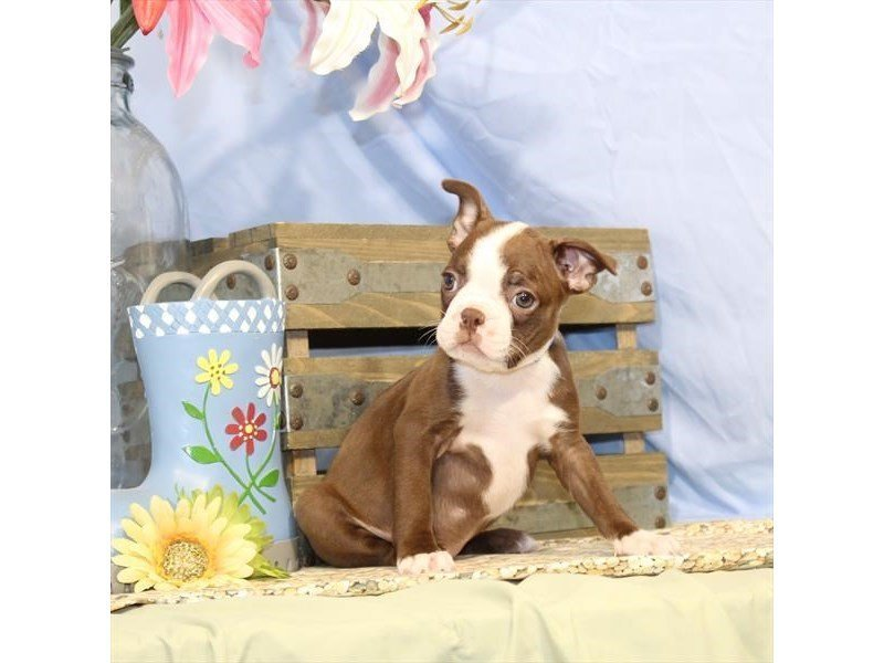 Boston Terrier-Female-Red / Brindle-2342114-Petland Naperville