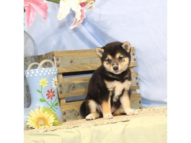 Shiba Inu-DOG-Female-Black / Tan-2342115-Petland Naperville