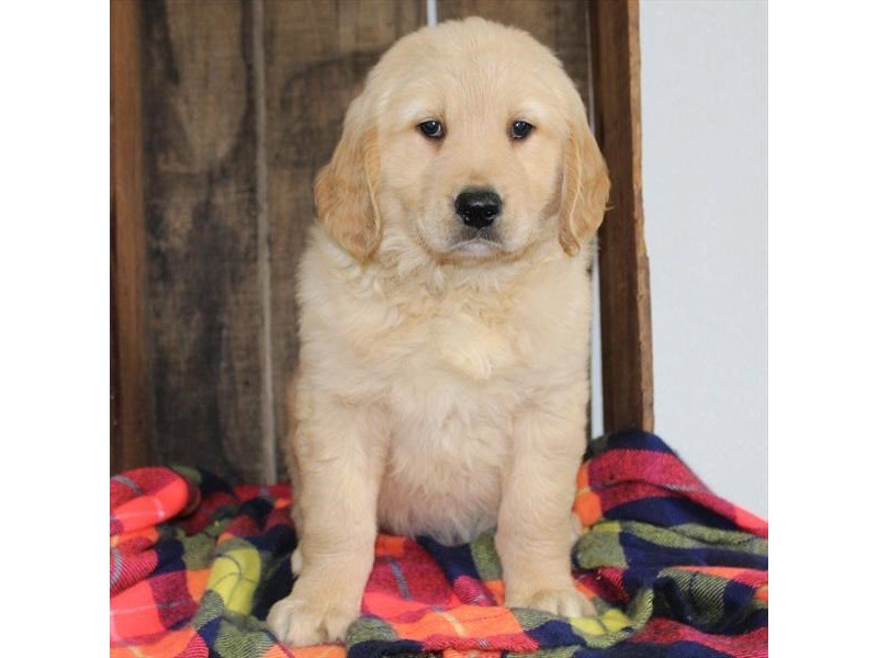 Golden Retriever-DOG-Male-Golden-2342117-Petland Naperville