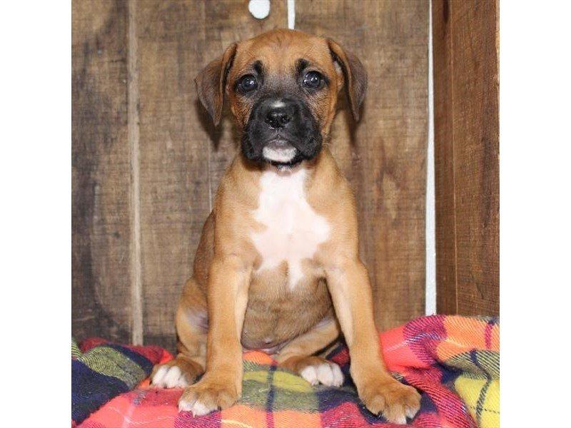 Boxer/Beagle-DOG-Female-Fawn-2342244-Petland Naperville