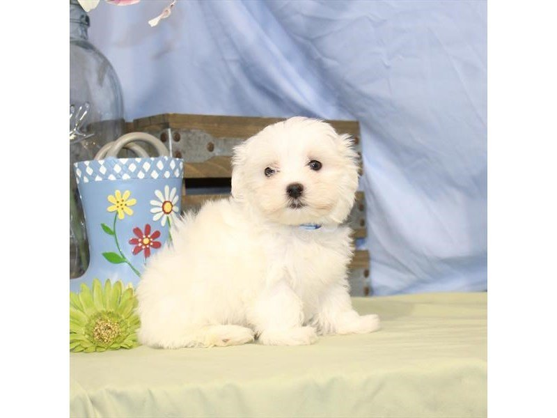 Maltese-DOG-Male-White-2342297-Petland Naperville