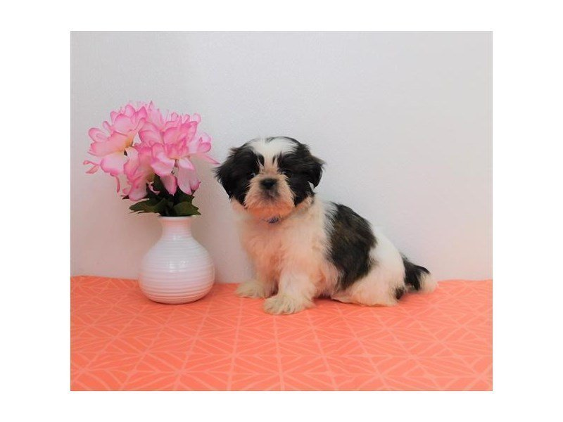 Shih Tzu-DOG-Female-Red / White-2342301-Petland Naperville