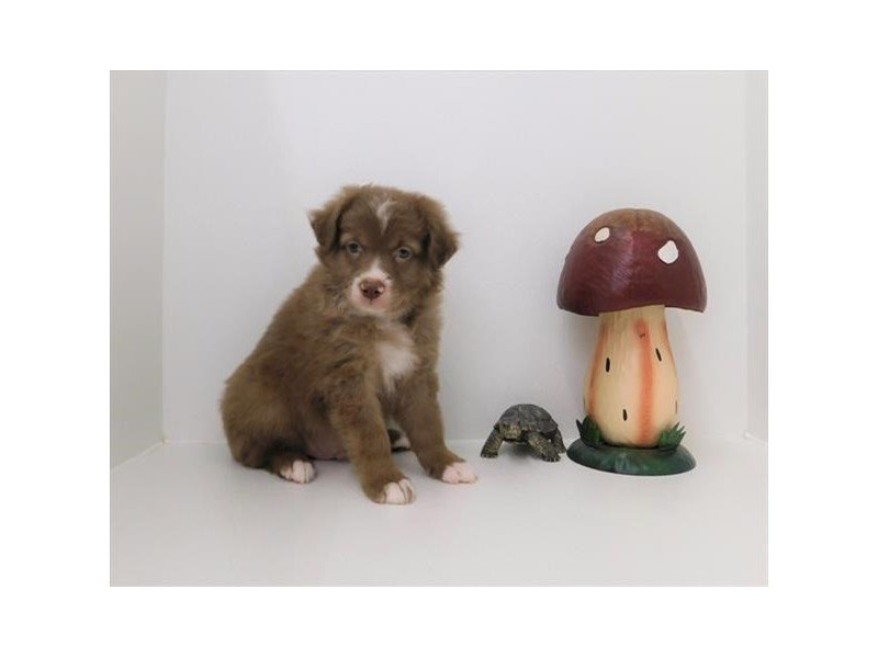 Australian Shepherd-DOG-Male-Red / White-2342357-Petland Naperville