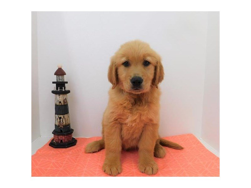 Golden Retriever-DOG-Male-Dark Golden-2342427-Petland Naperville