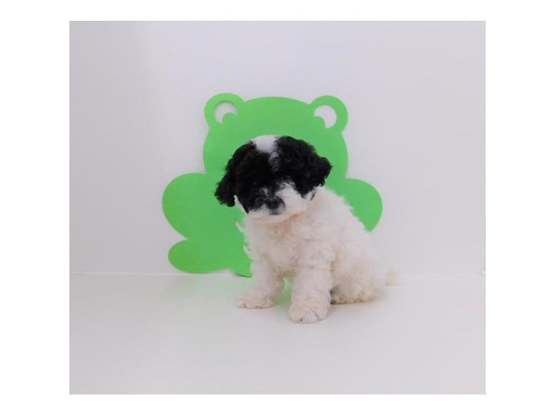 Poodle Toy-DOG-Female-Black / White-2342430-Petland Naperville