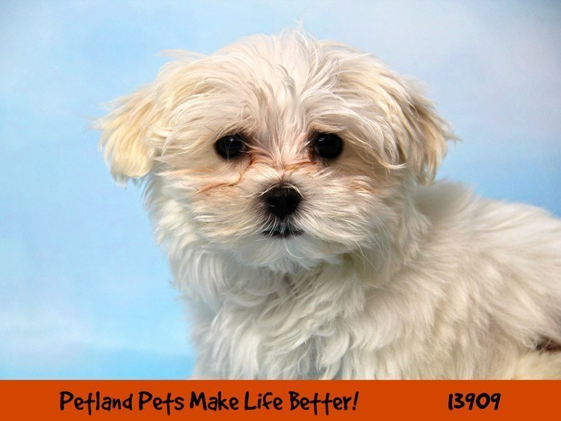Maltese-Female-White-2342292-Petland Naperville