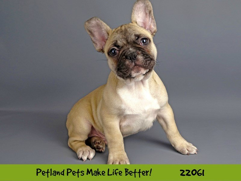French Bulldog-Male-Fawn-2341677-Petland Naperville
