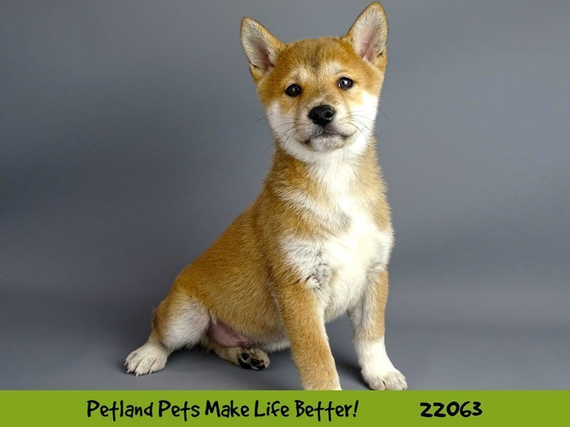 Shiba Inu-Male-Red-2341702-Petland Naperville