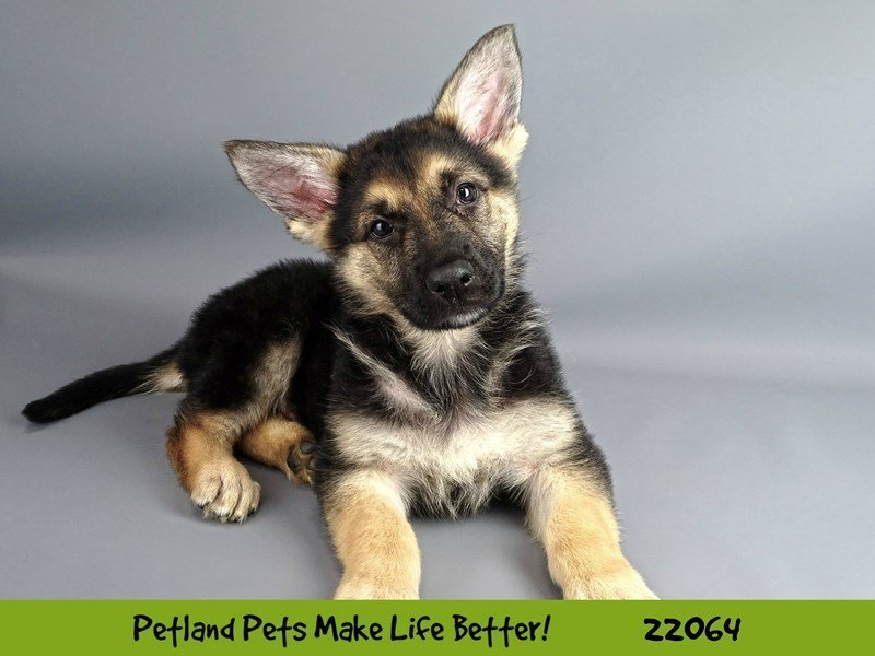 German Shepherd-Male-Black and Tan-2341737-Petland Naperville