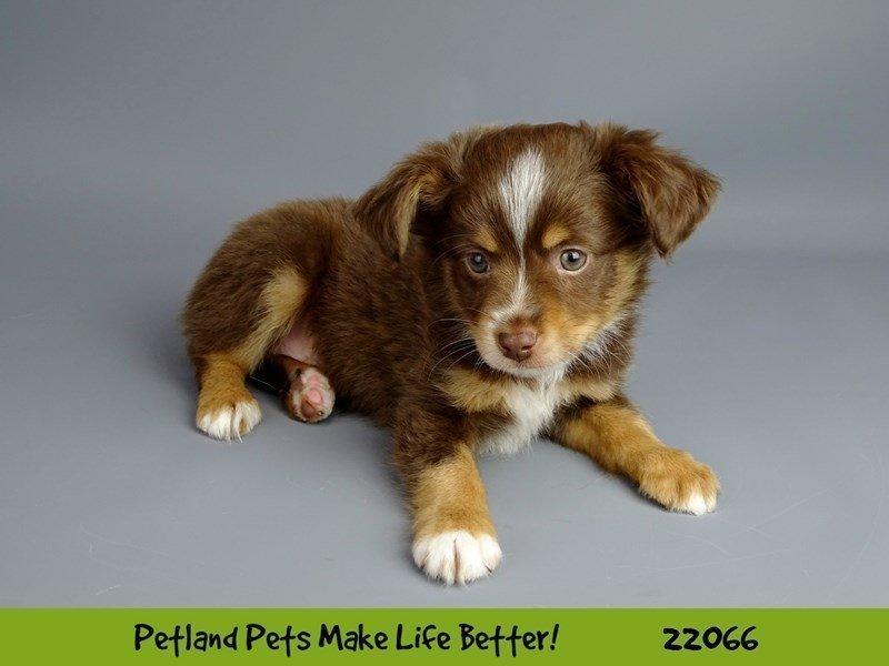 Mini Australian Shepherd-DOG-Male-Red/Wht-2341841-Petland Naperville