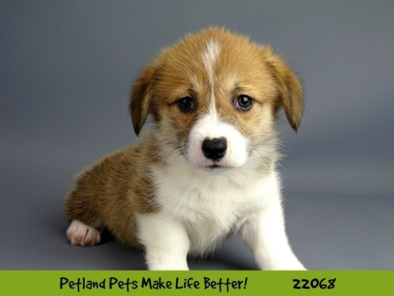 Pembroke Welsh Corgi-DOG-Female-RED-2341907-Petland Naperville