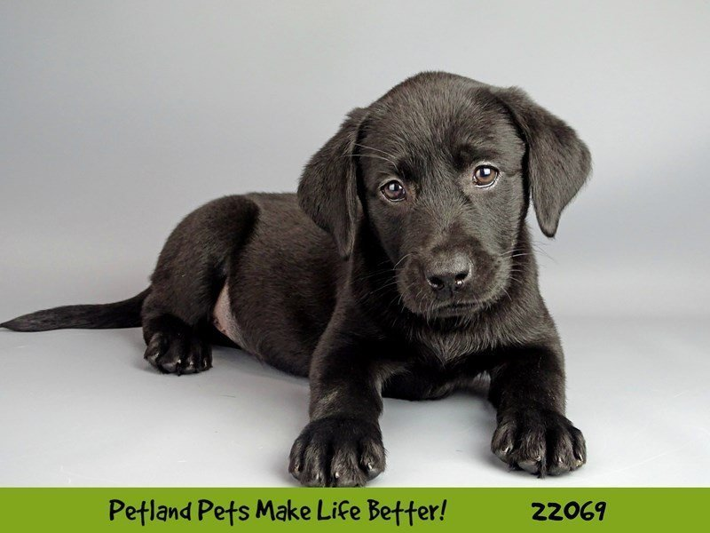 Labrador Retriever-Female-Black-2341922-Petland Naperville