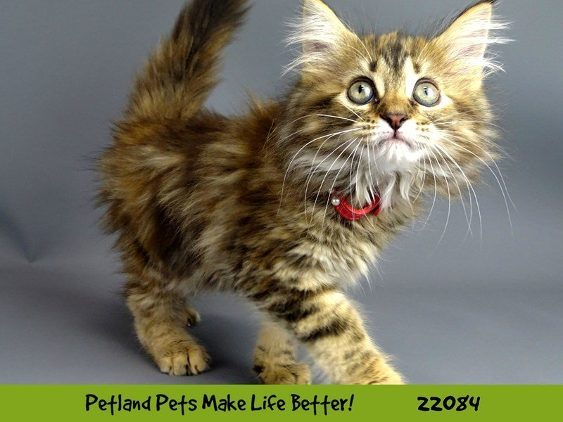 Maine Coon-CAT-Female-Brown Patch Makerel Tabby White-2342299-Petland Naperville