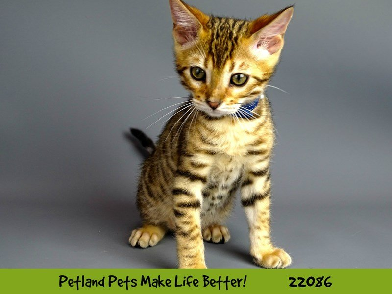 Bengal-Male-Brown / Black-2342364-Petland Naperville