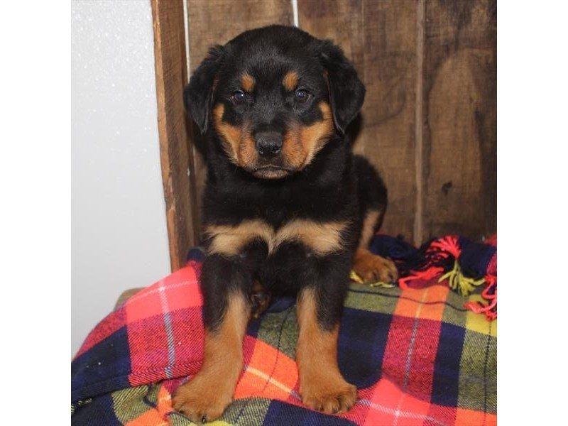 Rottweiler-Male-Black / Mahogany-2353219-Petland Naperville