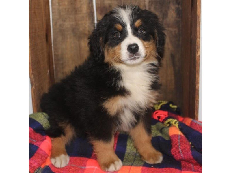 Bernese Mountain Dog-Female-Black Tan / White-2353220-Petland Naperville