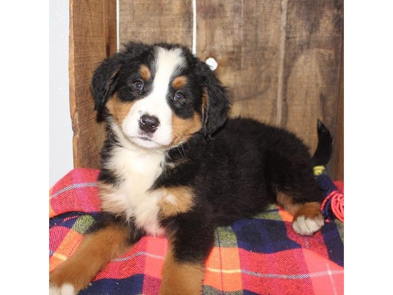 Bernese Mountain Dog-Male-Black Tan / White-2353221-Petland Naperville